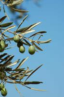 Arizona Olive Tree Fruit Suppression